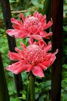 fleur tropicale de gingembre torche rouge.