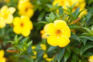 Groupe de fleurs d'allamanda jaune