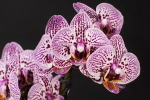 orchidée, orchidée