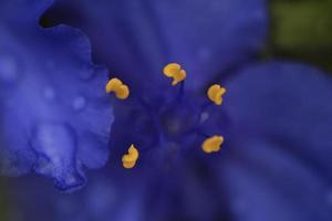 Fleur de commelina coelestis pourpre photo