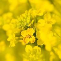 fleur de canola photo
