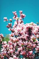 Magnolia rose en fleurs