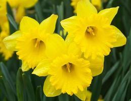fleurs de jonquilles - flores de narcisos photo