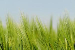 blé vert