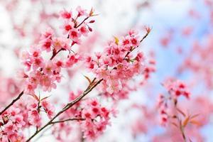 fleur de cerisier japonais au printemps