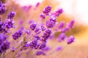 fond de fleurs de lavande photo