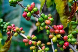 graines de café sur un caféier photo