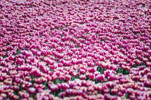 tulipes au soleil du printemps.