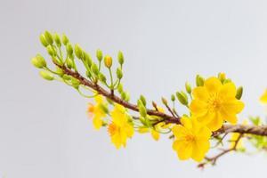 fleurs d'abricot (hoa mai)