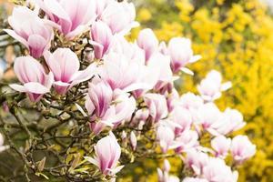 magnolia et fleurs de magnolia sur une branche.