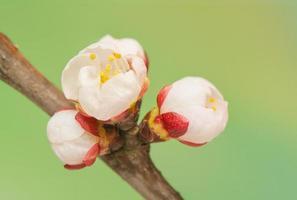 bourgeon de printemps photo