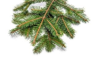 branche d'arbre à feuilles persistantes isolé sur blanc