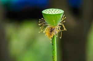 Gros plan de graines de lotus vert sur l'étang