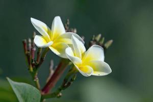 Fleur de tiaré au Népal photo
