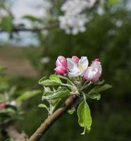 arbre en fleurs avec des fleurs roses photo