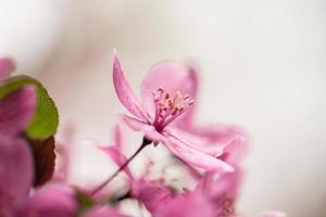 Close up of cornouiller fleurissent au printemps photo