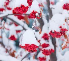 grappes de rowans sous la neige photo