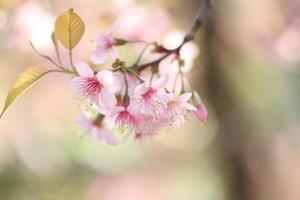 fleurs de cerisier sakura