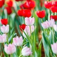 coloré de fleur de tulipe