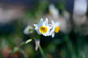 narcisse blanc. photo