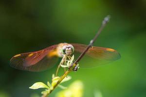 libellule orange au repos