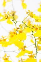Orchidées dansantes d'oncidium jaune