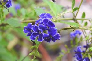 Fleur de pigeon violet dans le jardin