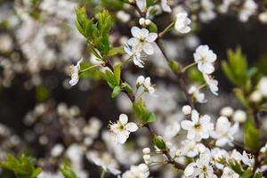 arbre en fleurs avec de belles fleurs blanches photo