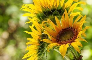beau tournesol sur la nature en journée d'été photo