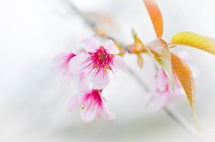 sakura, fleur de cerisier photo