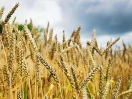 champ de blé. pointes