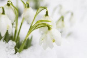 perce-neige poussant dans la neige photo