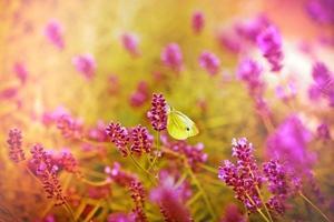 papillon blanc sur belle lavande photo