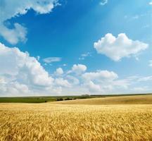récolte d'or sous un ciel nuageux