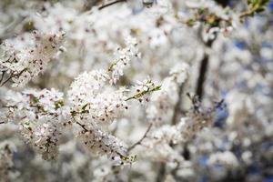 arbre fleur de cerisier photo