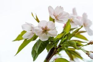 fleur de poire sur blanc photo