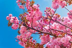 fleurs de cerisier roses à la belle journée de printemps photo