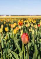 Diverses tulipes colorées floraison dans un champ photo