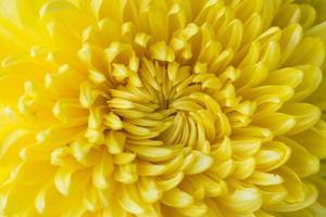 gros plan, de, fleur jaune, aster, marguerite photo