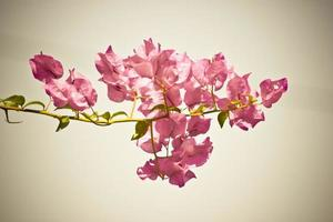 bougainvilliers roses exotiques photo