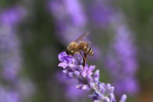 Abeille à miel sur gros plan de fleurs de lavande en fleurs photo