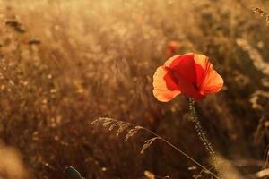 pavot dans le champ au coucher du soleil en contre-jour