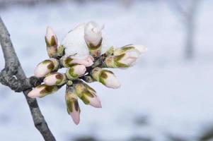 neige sur les bourgeons d'amande