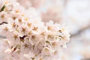 fleurs de cerisier fleuries photo