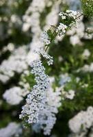 branche blanche photo