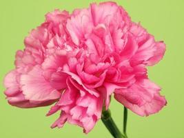fleur de dianthus photo
