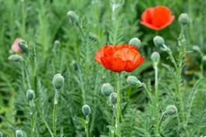 fleurs de pavot rouge