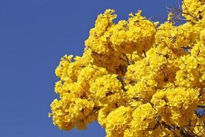 Détail de fleurs ipe jaune avec ciel bleu