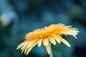 Fleur de marguerite gerberas orange
