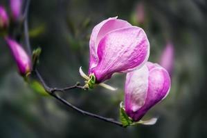 fleurs de magnolia en fleurs